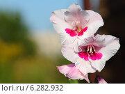 Яркие бело-розовые цветы гладиолусов крупным планом  на размытом фоне. Стоковое фото, фотограф Анна Пикунова / Фотобанк Лори