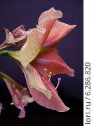 Купить «Красивый цветок Амариллис», фото № 6286820, снято 2 апреля 2013 г. (c) Клыков Станислав / Фотобанк Лори