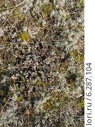Купить «Лишайники Куршской косы в Калининградской области», эксклюзивное фото № 6287104, снято 9 августа 2014 г. (c) Ната Антонова / Фотобанк Лори