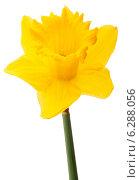 Купить «Daffodil flower or narcissus isolated on white background cutout», фото № 6288056, снято 9 мая 2013 г. (c) Natalja Stotika / Фотобанк Лори