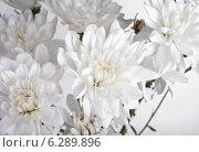 Купить «Белые хризантемы», фото № 6289896, снято 8 июня 2014 г. (c) Литвяк Игорь / Фотобанк Лори