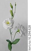 Купить «Цветок лизиантуса на сером фоне», фото № 6294628, снято 31 июля 2014 г. (c) Wanda / Фотобанк Лори