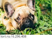 Купить «Собака породы французский бульдог на траве», фото № 6296408, снято 1 мая 2014 г. (c) g.bruev / Фотобанк Лори