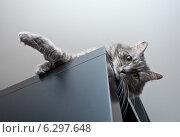 Купить «Серая сибирская кошка лежит на шкафу», фото № 6297648, снято 30 января 2014 г. (c) Сурикова Ирина / Фотобанк Лори