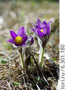 Купить «Сон трава», фото № 6301180, снято 2 мая 2013 г. (c) Зудин Виталий Владимирович / Фотобанк Лори