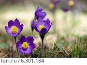 Сон трава. Стоковое фото, фотограф Зудин Виталий Владимирович / Фотобанк Лори