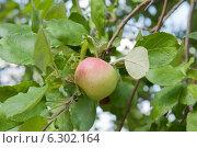 Купить «Спелое яблоко на ветке», фото № 6302164, снято 9 августа 2014 г. (c) Екатерина Овсянникова / Фотобанк Лори