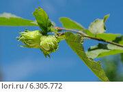 Купить «Ветка лесного ореха с плодами на фоне голубого неба», эксклюзивное фото № 6305772, снято 25 июля 2014 г. (c) Елена Коромыслова / Фотобанк Лори