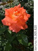 Купить «Роза оранжевого цвета», фото № 6305820, снято 20 августа 2014 г. (c) Рамиль Усманов / Фотобанк Лори