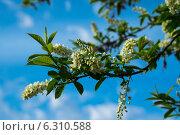 Ветка цветущей черемухи на фоне облачного голубого неба. Стоковое фото, фотограф Иван Рочев / Фотобанк Лори