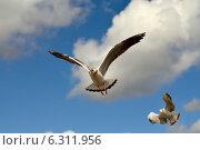 Купить «Чайка в полёте», фото № 6311956, снято 21 января 2014 г. (c) Сергей Трофименко / Фотобанк Лори