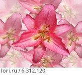 Крупная розовая лилия на фоне лилий. Стоковое фото, фотограф ангелина кочугуева / Фотобанк Лори