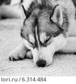 Купить «Серая собака породы Сибирская Хаски положила голову на лапы и закрыла глаза», фото № 6314484, снято 11 мая 2014 г. (c) g.bruev / Фотобанк Лори
