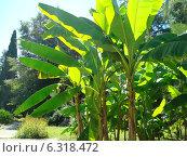 Банановые деревья. Стоковое фото, фотограф Ольга Ножнина / Фотобанк Лори