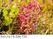 Северная растительность. Стоковое фото, фотограф Oleksii Pyltsyn / Фотобанк Лори