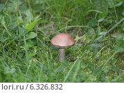 Подберезовик в лесу. Стоковое фото, фотограф Дина Тимонина / Фотобанк Лори