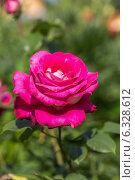 Купить «Чайно-гибридная роза», фото № 6328612, снято 12 июля 2014 г. (c) Ольга Сейфутдинова / Фотобанк Лори