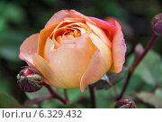 Купить «Бутон английской розы Леди Эмма Гамильтон», фото № 6329432, снято 10 июня 2013 г. (c) Ольга Сейфутдинова / Фотобанк Лори