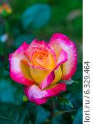 Купить «Роза чайно-гибридная Ориент Экспресс, Love and Peace (Восточный Экспресс) (лат. Orient Express)», фото № 6329464, снято 15 июня 2013 г. (c) Ольга Сейфутдинова / Фотобанк Лори