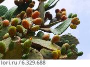 Купить «opuntia ficus-indica (prickly pear) plant», фото № 6329688, снято 12 августа 2014 г. (c) Яков Филимонов / Фотобанк Лори