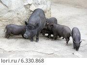 Вьетнамская вислобрюхая свинья с поросятами. Стоковое фото, фотограф Игорь Долгов / Фотобанк Лори