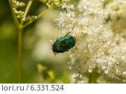 Купить «Жук бронзовка на цветке», фото № 6331524, снято 29 июня 2014 г. (c) Ольга Сейфутдинова / Фотобанк Лори