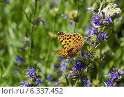 Бабочка - перламутровка полевая собирает пыльцу. Стоковое фото, фотограф Наталия Тихонова / Фотобанк Лори