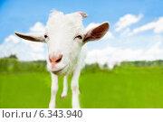Купить «Мультяшная коза на зеленом поле», фото № 6343940, снято 26 июля 2014 г. (c) Екатерина Овсянникова / Фотобанк Лори