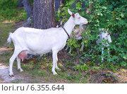 Купить «Коза с козлятами в лесу», эксклюзивное фото № 6355644, снято 25 июля 2014 г. (c) Елена Коромыслова / Фотобанк Лори