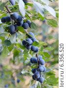 Купить «Ветка со спелыми ягодами тёрна», фото № 6356520, снято 28 августа 2011 г. (c) Елена Вяселева / Фотобанк Лори
