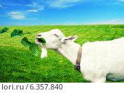 Купить «Белая коза ест ветку на лугу», фото № 6357840, снято 17 июня 2012 г. (c) katalinks / Фотобанк Лори