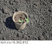 Купить «Рассада в торфяном горшочке на земле», фото № 6362812, снято 4 июня 2014 г. (c) Насыров Руслан / Фотобанк Лори