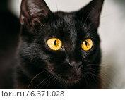 Купить «Черная кошка с желтыми глазами», фото № 6371028, снято 16 июня 2014 г. (c) g.bruev / Фотобанк Лори