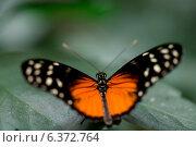 Купить «Close-up of a butterfly on leaf at Butterfly Palace, Branson, Taney County, Missouri, USA», фото № 6372764, снято 25 августа 2019 г. (c) Ingram Publishing / Фотобанк Лори