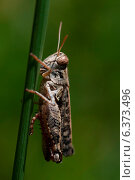 Купить «Grasshopper on a reed», фото № 6373496, снято 31 марта 2020 г. (c) Ingram Publishing / Фотобанк Лори