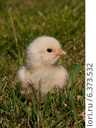 Купить «A chick sitting in the grass», фото № 6373532, снято 22 января 2019 г. (c) Ingram Publishing / Фотобанк Лори