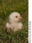 Купить «A chick sitting in the grass», фото № 6373532, снято 23 октября 2018 г. (c) Ingram Publishing / Фотобанк Лори