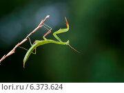 Купить «A artistic shot of a praying mantis», фото № 6373624, снято 11 ноября 2019 г. (c) Ingram Publishing / Фотобанк Лори