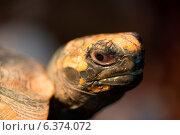 Купить «Close-up of a Turtle, Butterfly Palace, Branson, Taney County, Missouri, USA», фото № 6374072, снято 18 июня 2019 г. (c) Ingram Publishing / Фотобанк Лори