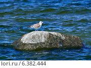 Купить «Чайка сидит на камне», фото № 6382444, снято 21 января 2014 г. (c) Сергей Трофименко / Фотобанк Лори