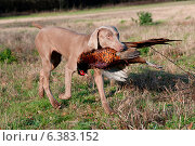 Купить «Hunting dog with a pheasant in its mouth», фото № 6383152, снято 21 марта 2019 г. (c) Ingram Publishing / Фотобанк Лори