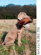 Купить «Hunting dog with a pheasant in its mouth», фото № 6383156, снято 21 марта 2019 г. (c) Ingram Publishing / Фотобанк Лори