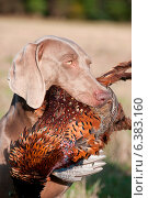 Купить «Hunting dog with a pheasant in its mouth», фото № 6383160, снято 21 марта 2019 г. (c) Ingram Publishing / Фотобанк Лори