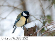 Купить «A blue tit in the snow», фото № 6383252, снято 24 января 2019 г. (c) Ingram Publishing / Фотобанк Лори