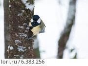 Купить «A blue tit in the snow», фото № 6383256, снято 21 января 2019 г. (c) Ingram Publishing / Фотобанк Лори