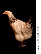 A portrait of a show chicken, isolated on a black background. Стоковое фото, агентство Ingram Publishing / Фотобанк Лори