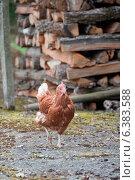 Купить «A chicken on a farm», фото № 6383588, снято 16 октября 2018 г. (c) Ingram Publishing / Фотобанк Лори