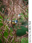 Купить «A blue tit on a branch», фото № 6383764, снято 24 января 2019 г. (c) Ingram Publishing / Фотобанк Лори