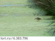 Купить «A heron hunting in the algae», фото № 6383796, снято 21 марта 2019 г. (c) Ingram Publishing / Фотобанк Лори