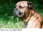 Купить «A close-up of a mastiff in a field», фото № 6383992, снято 10 декабря 2019 г. (c) Ingram Publishing / Фотобанк Лори